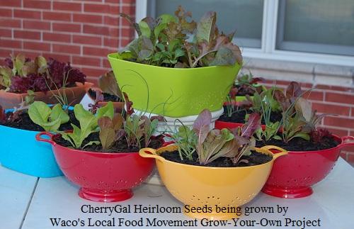 Waco's Local Food Movement uses CherryGal Heirlooms
