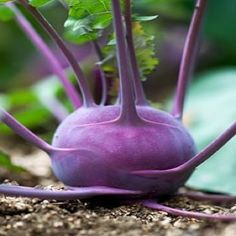 KOHLRABI * AZUR STAR * HEIRLOOM SEEDS 2015