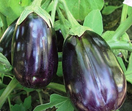 EGGPLANT * BLACK BEAUTY * HEIRLOOM SEEDS 2013