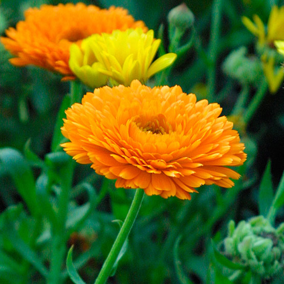 HERB * CALENDULA * HEIRLOOM SEEDS 2014