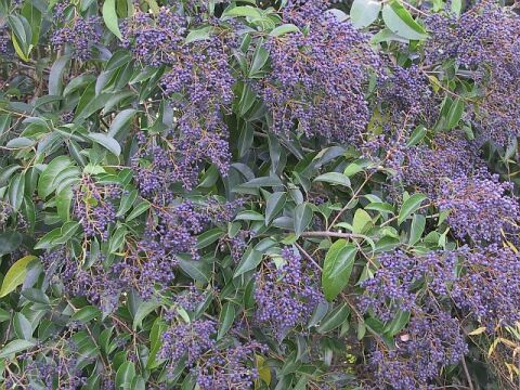 SHRUB * CHINESE PRIVET * HEIRLOOM SEEDS 2012