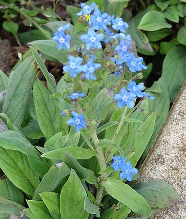 ROCKERY * CHINESE FORGET-ME-NOT * HEIRLOOM SEEDS 2014