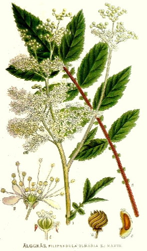 HERB * MEADOWSWEET * HEIRLOOM SEEDS 2014