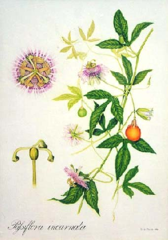 VINE * PASSION FLOWER * HEIRLOOM SEEDS 2012
