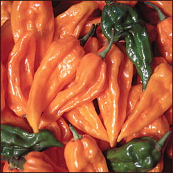 PEPPER, HOT * FATALII * HEIRLOOM SEEDS 2015