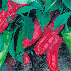 PEPPER, SWEET * MARCONI RED * HEIRLOOM SEEDS 2014