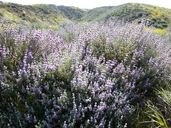 FLOWER PERENNIAL * SAGE, PURPLE * HEIRLOOM SEEDS 2009