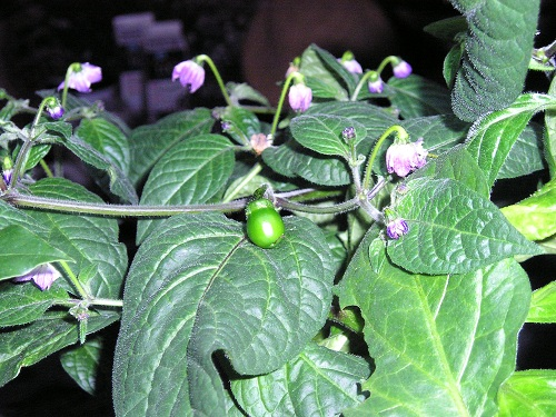 PEPPER, HOT * ROCOTO * HEIRLOOM SEEDS 2015