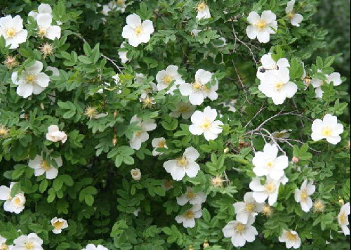 FLOWER PERENNIAL * ROSE SCOTCH * HEIRLOOM SEEDS 2011