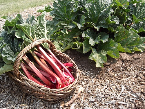 FRUIT * RHUBARB VICTORIA * HEIRLOOM SEEDS 2015