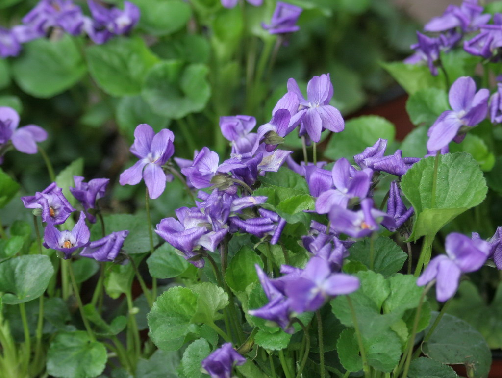 HERB * VIOLA ODORATA * HEIRLOOM SEEDS 2014