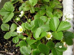 FRUIT * FRAISES DES BOIS STRAWBERRY * ORGANIC STRAWBERRY PLANTS 2021