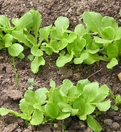 ASIAN * CABBAGE NOZAKI EARLY * ORGANIC HEIRLOOM SEEDS 2018