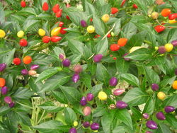 PEPPER, HOT * BOLIVIAN RAINBOW * ORGANIC HEIRLOOM SEEDS 2021
