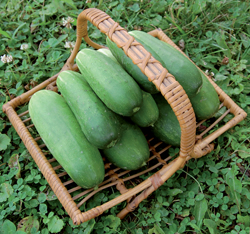 CUCUMBER * DOUBLE YIELD * ORGANIC HEIRLOOM SEEDS 2020