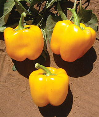 PEPPER, SWEET * CALIFORNIA WONDER GOLD * ORGANIC HEIRLOOM SEEDS 2017
