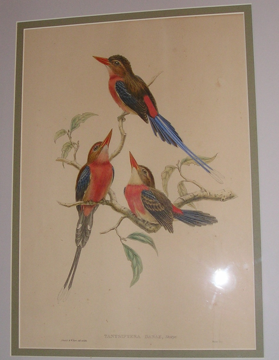 Antique Gould Hart Lithograph Tanysiptera Danae, Sharpe Hand Tinted Lithograph Framed