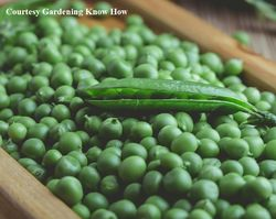 PEA, SHELLING * LAXTON