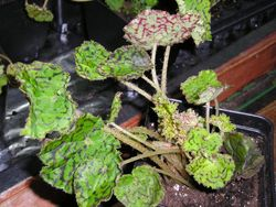 ANNUAL * Rex Begonia Harlequin * Organic Ornamental Live Garden or House Plant