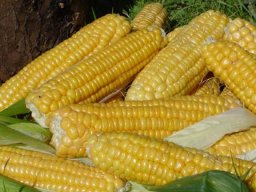 CORN * TRUE GOLD * ORGANIC HEIRLOOM SEEDS 2017