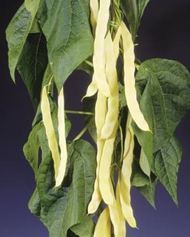 BEAN, POLE * MARVEL OF VENICE * ORGANIC HEIRLOOM SEEDS 2021