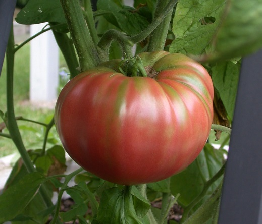 TOMATO * AFRICAN QUEEN * ORGANIC HEIRLOOM SEEDS 2018