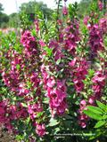 ANNUAL * Angelonia Rose Summer Snapdragon * Fragrant Organic Live Plant