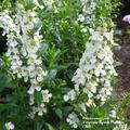 ANNUAL * Angelonia White Summer Snapdragon * Fragrant Organic Live Plant