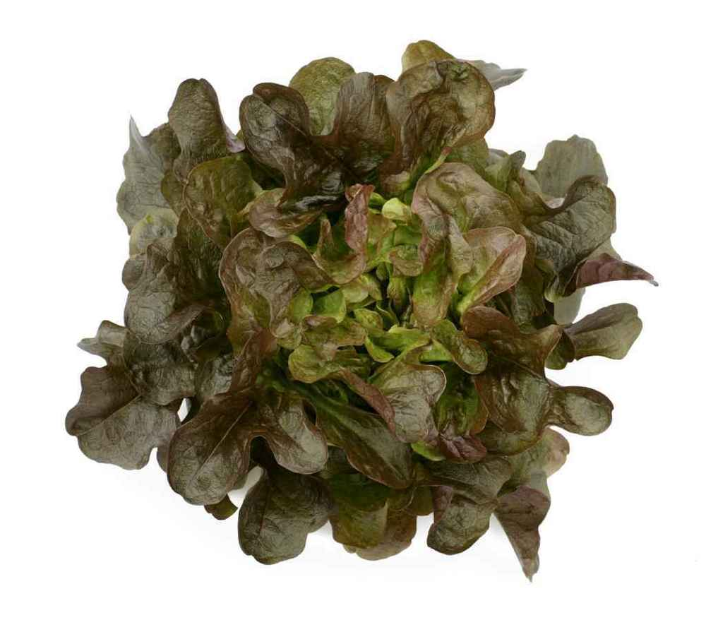 LETTUCE * ASHLEY OAKLEAF * ORGANIC HEIRLOOM SEEDS 2018