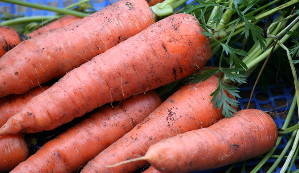 CARROT * AUTUMN KING * ORGANIC HEIRLOOM SEEDS 2017