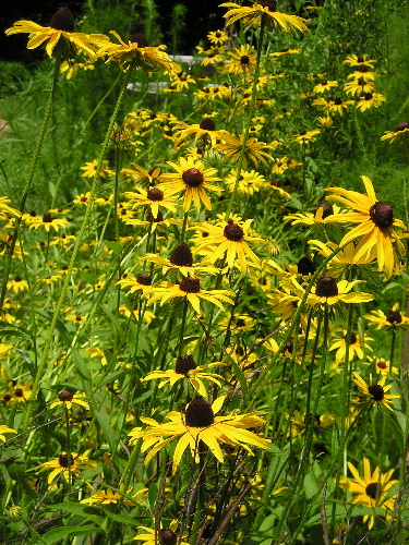 FLOWER BIENNIAL * BLACK EYED SUSAN * ORGANIC HEIRLOOM SEEDS 2018