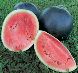 WATERMELON * BLACKTAIL MOUNTAIN * ORGANIC HEIRLOOM SEEDS 2018