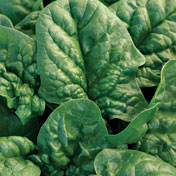 SPINACH * BLOOMSDALE LONG STANDING * ORGANIC HEIRLOOM SEEDS 2021