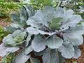 GREENS * COLLARD OLD TIMEY BLUE * ORGANIC HEIRLOOM SEEDS 2021