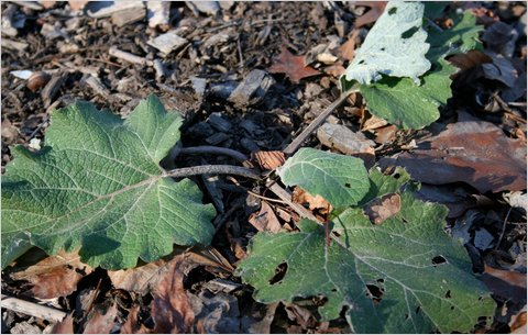 ASIAN  BURDOCK GOBO WATANABE  ORGANIC HEIRLOOM SEEDS 2018