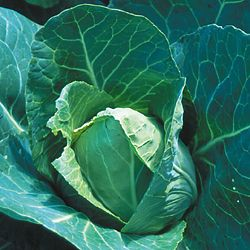 CABBAGE * EARLY JERSEY WAKEFIELD * HEIRLOOM SEEDS 2018