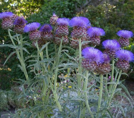 ARTICHOKE  CARDOON  ORGANIC HEIRLOOM SEEDS 2018