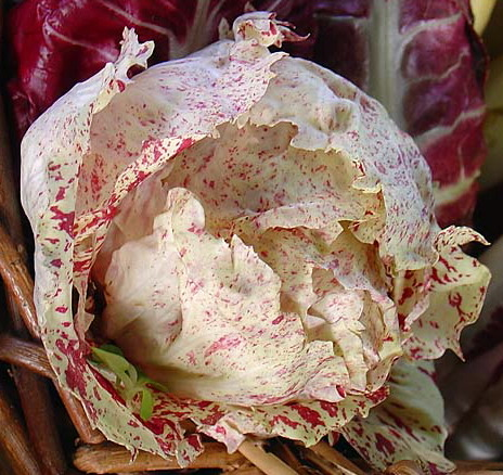 RADICCHIO * CASTELFRANCO * ORGANIC HEIRLOOM SEEDS 2017
