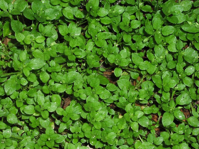 GREENS * CHICKWEED * ORGANIC HEIRLOOM SEEDS 2018