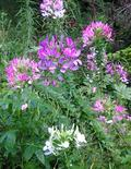 FLOWER ANNUAL * CLEOME MIX * ORGANIC HEIRLOOM PLANT