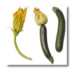 SQUASH  COCOZELLE  ORGANIC HEIRLOOM SEEDS 2017