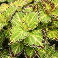 ANNUAL * Coleus Scalloped Green Red * Organic Live Plant