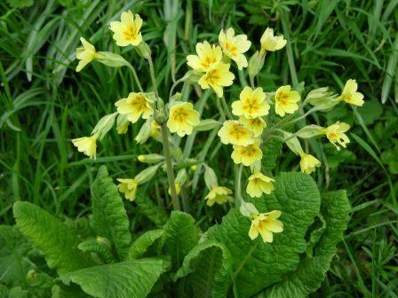 FLOWER PERENNIAL * COWSLIP  * ORGANIC HEIRLOOM SEEDS 2018