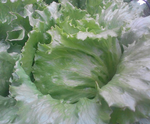 LETTUCE * CRISPINO * ORGANIC HEIRLOOM SEEDS 2018
