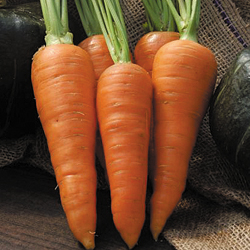 CARROT * DANVERS HALF LONG * ORGANIC HEIRLOOM SEEDS 2018