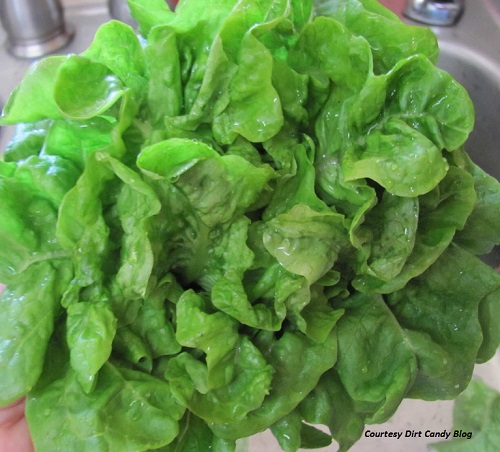 LETTUCE * EMERALD OAK * ORGANIC HEIRLOOM SEEDS 2017