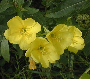 HERB * EVENING PRIMROSE * ORGANIC HEIRLOOM SEEDS 2021
