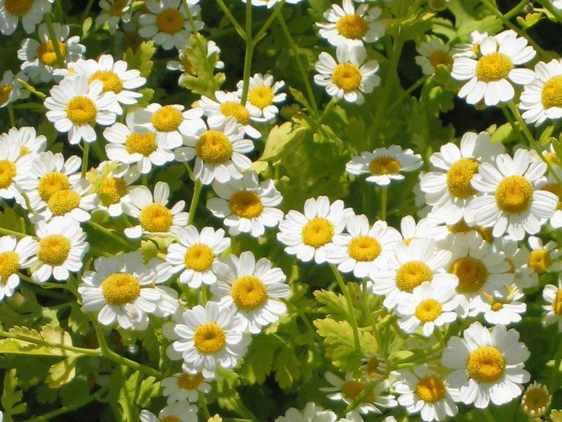 HERB * FEVERFEW * ORGANIC HEIRLOOM SEEDS 2020