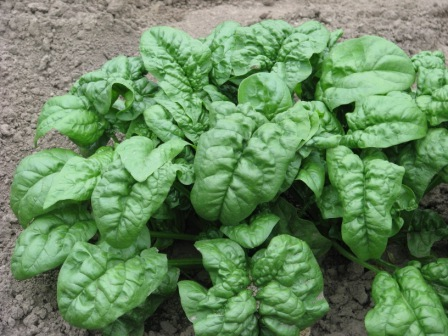SPINACH * GIANT NOBEL * ORGANIC HEIRLOOM SEEDS 2017