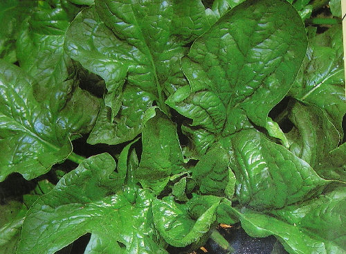 SPINACH * GIGANTE D'INVERNO * ORGANIC HEIRLOOM SEEDS 2017